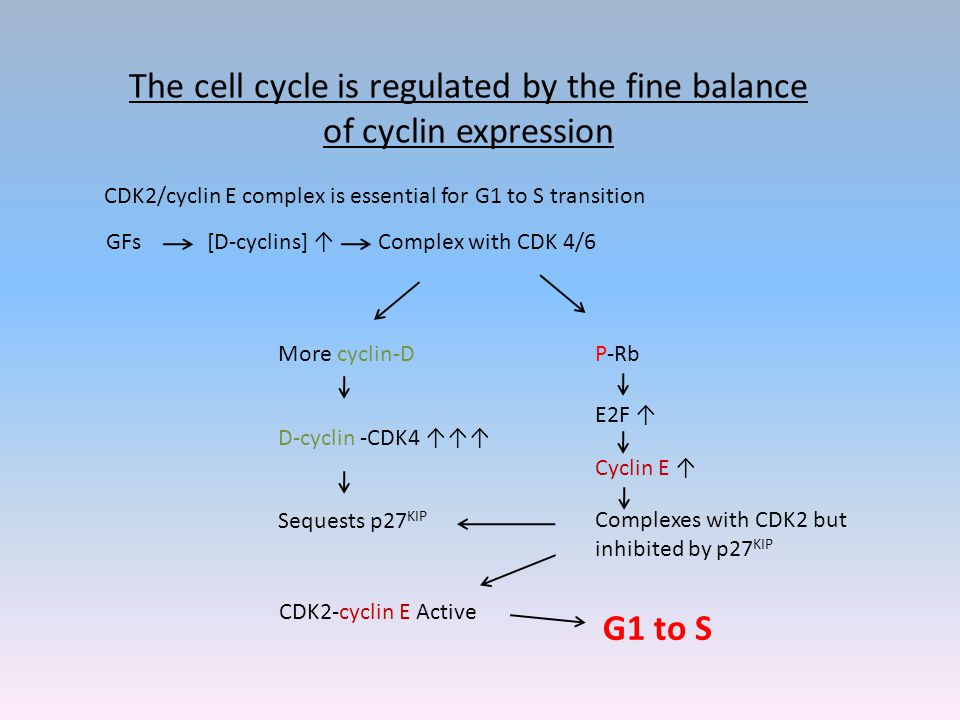 The cell cycle is regulated by the fine balance of cyclin expression CDK2/cyclin E complex is essential for G1 to S transition GFs[D-cyclins] ↑Complex with CDK 4/6 More cyclin-D P-Rb D-cyclin -CDK4 ↑↑↑ Sequests p27 KIP E2F ↑ Cyclin E ↑ Complexes with CDK2 but inhibited by p27 KIP CDK2-cyclin E Active G1 to S