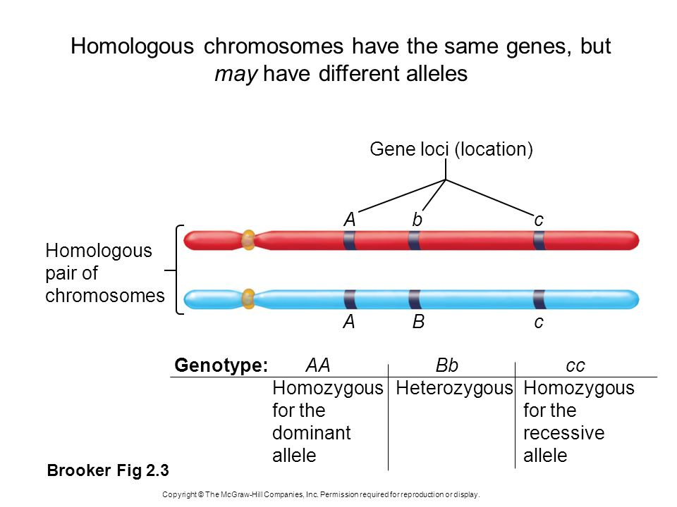 Homologous pair of chromosomes Gene loci (location) Abc ABc AABbccGenotype: Homozygous for the dominant allele HeterozygousHomozygous for the recessiv