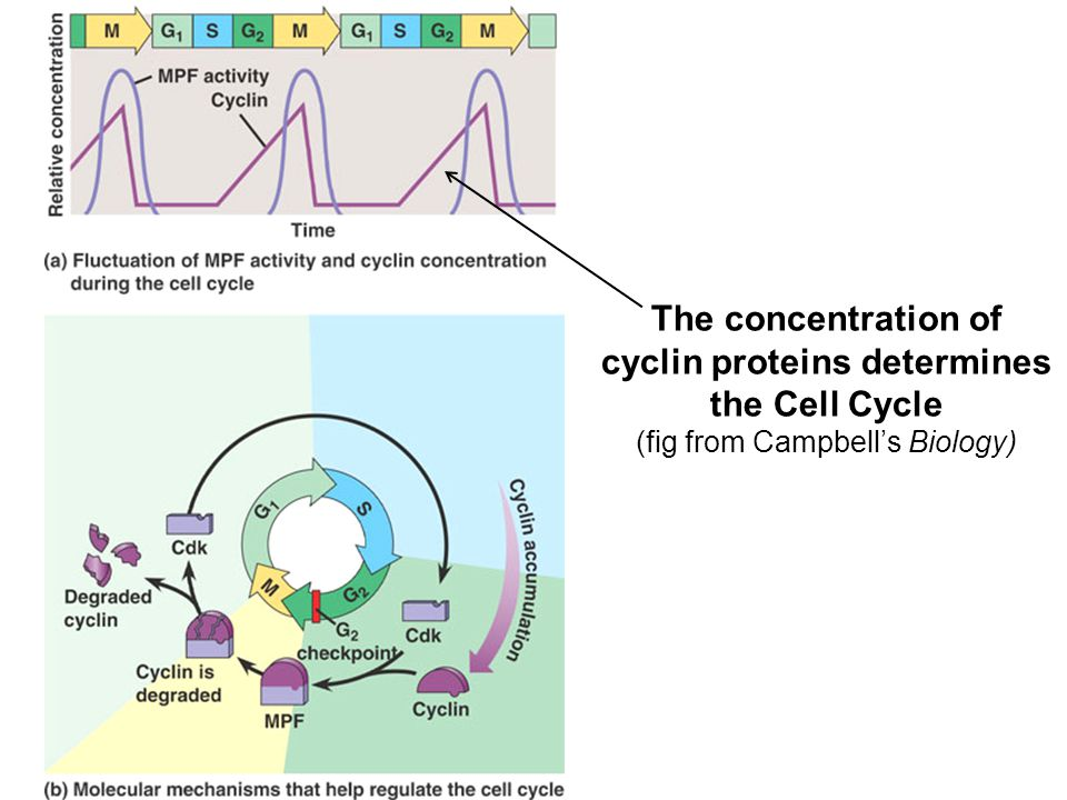 The concentration of cyclin proteins determines the Cell Cycle (fig from Campbell's Biology)