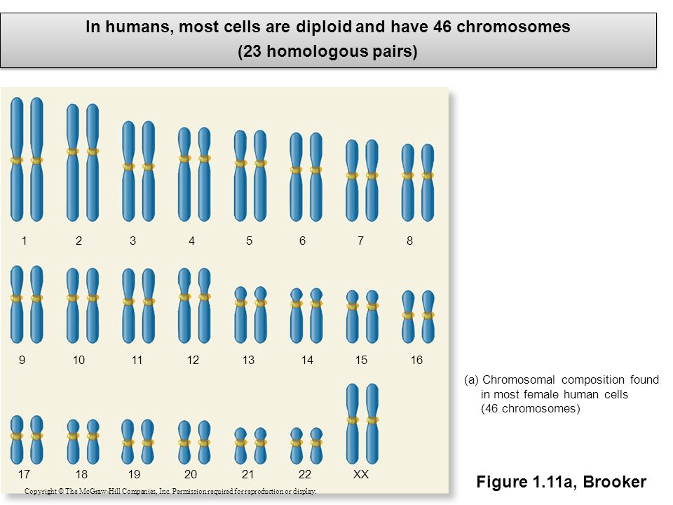 (a) Chromosomal composition found in most female human cells (46 chromosomes) 1234567 XX 8 9101112131415 171819202122 16 In humans, most cells are dip