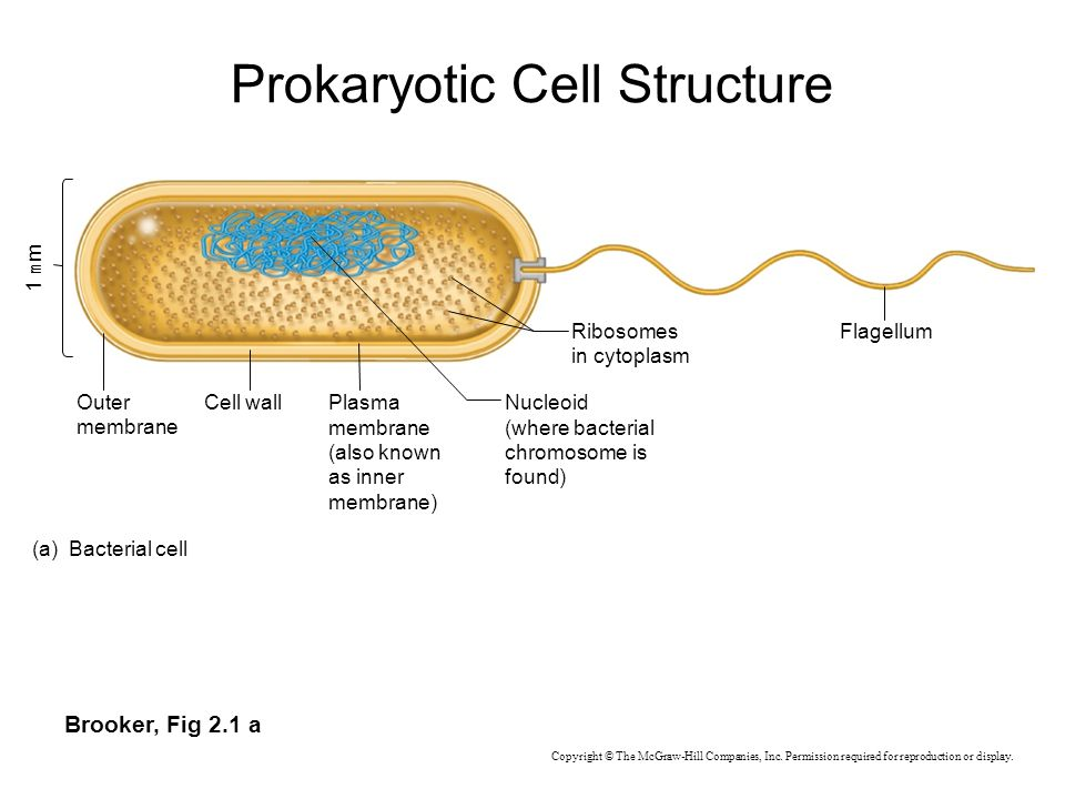 Brooker, Fig 2.1 a Outer membrane Cell wallNucleoid (where bacterial chromosome is found) Ribosomes in cytoplasm Flagellum Plasma membrane (also known