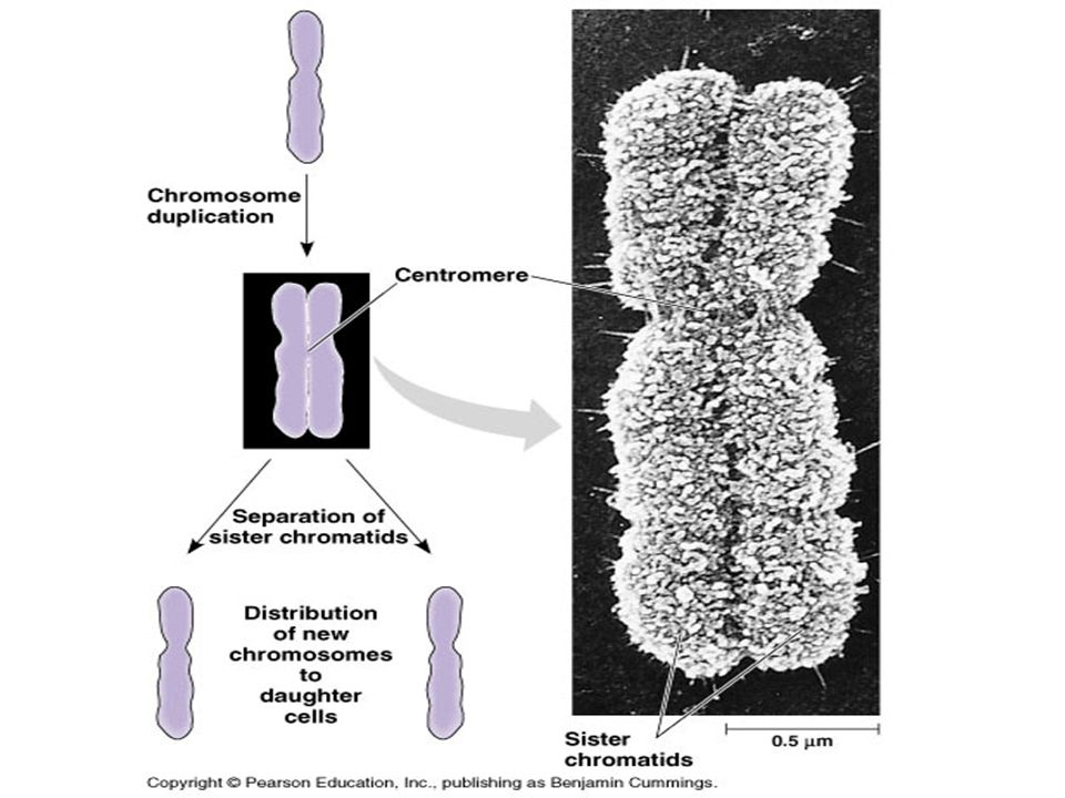  Animal  Cleavage furrow forms  Microfilaments contracts and divides the cytoplasm into two parts  Plant  Cell plate develops in between the two new daughter cells (from Golgi vesicles)  New cell wall developed around the cell plate