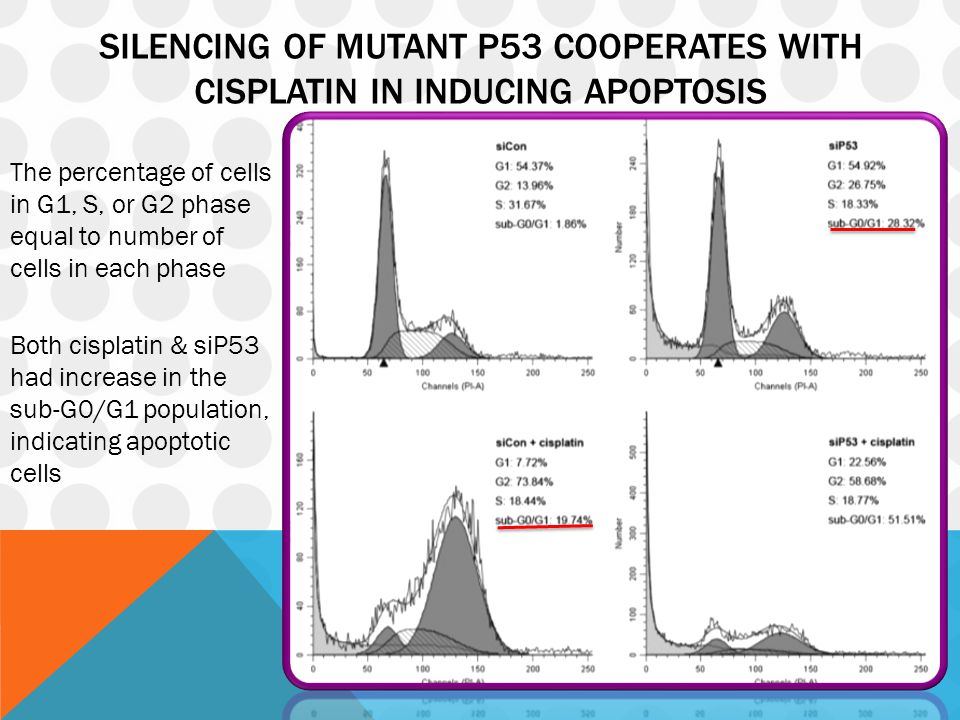SILENCING OF MUTANT P53 COOPERATES WITH CISPLATIN IN INDUCING APOPTOSIS The percentage of cells in G1, S, or G2 phase equal to number of cells in each phase Both cisplatin & siP53 had increase in the sub-G0/G1 population, indicating apoptotic cells