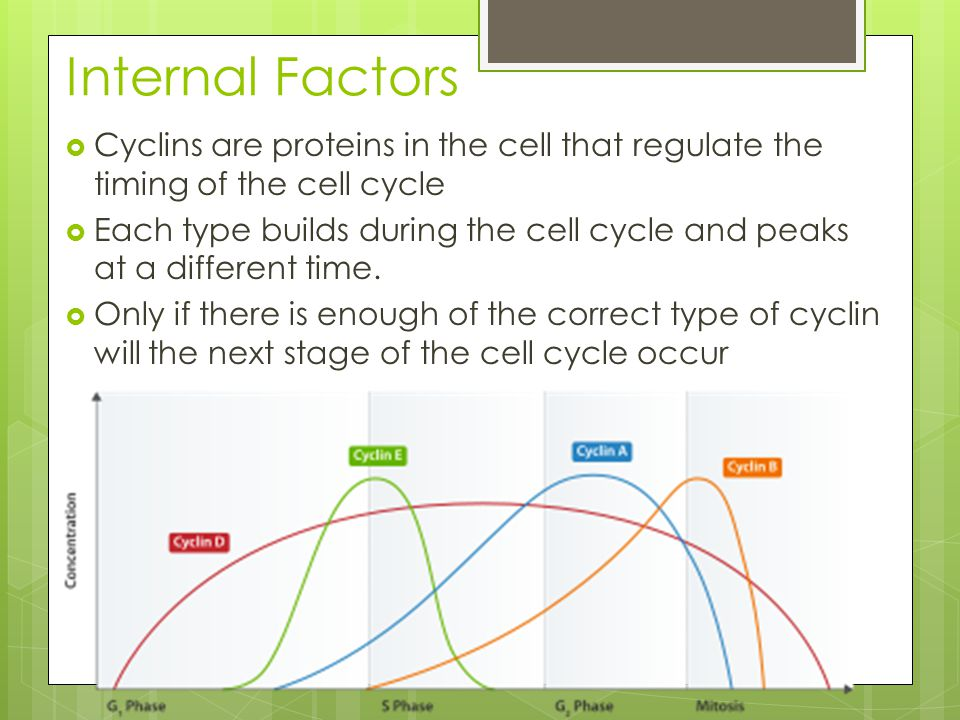  Cyclins are proteins in the cell that regulate the timing of the cell cycle  Each type builds during the cell cycle and peaks at a different time.