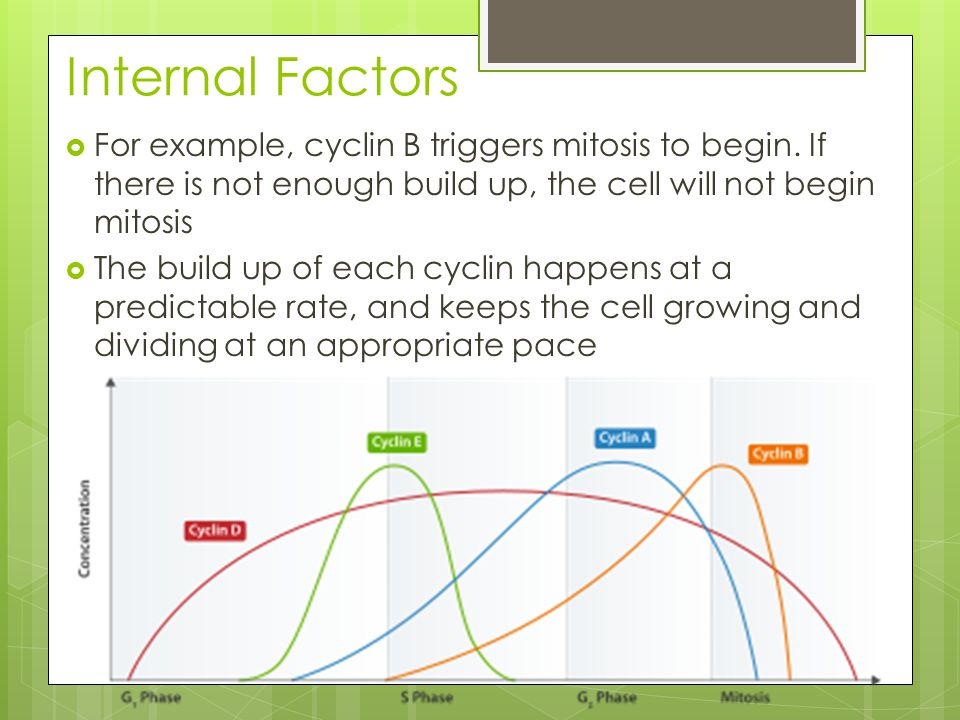 Internal Factors  For example, cyclin B triggers mitosis to begin.