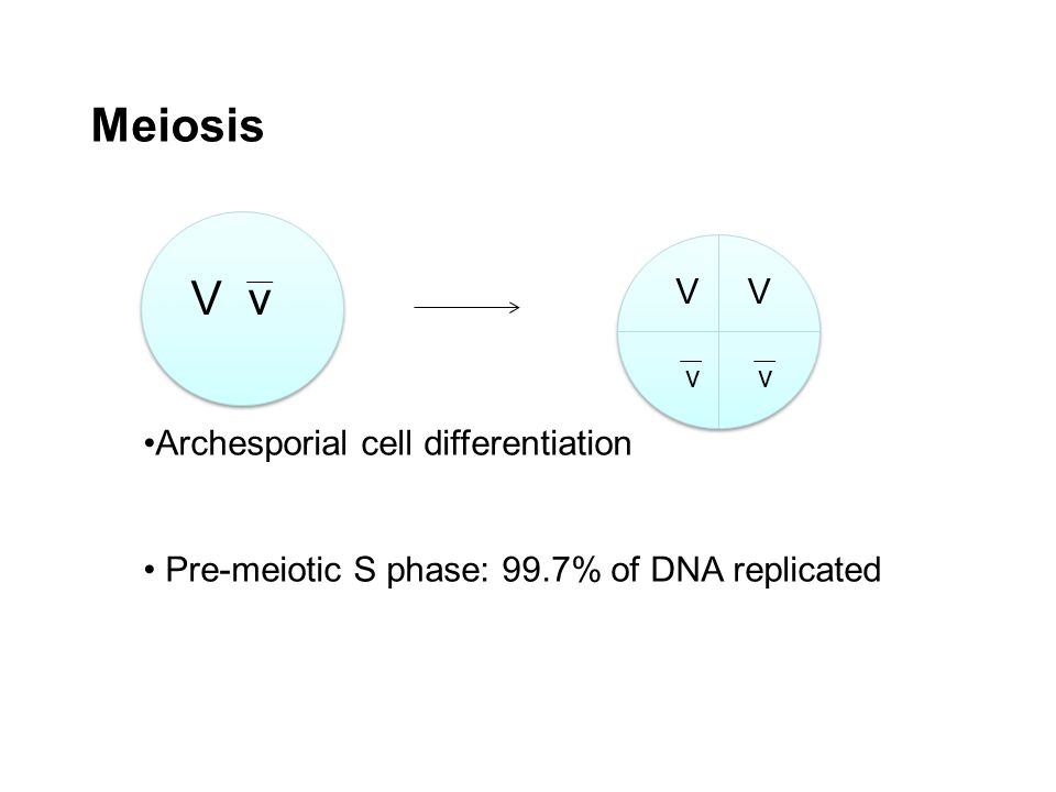 Meiosis Archesporial cell differentiation Pre-meiotic S phase: 99.7% of DNA replicated V v VV vv