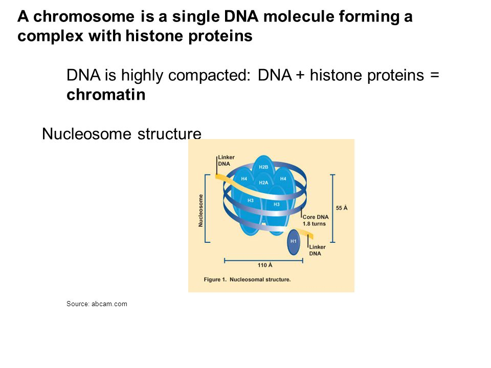 A chromosome is a single DNA molecule forming a complex with histone proteins DNA is highly compacted: DNA + histone proteins = chromatin Nucleosome structure Source: abcam.com