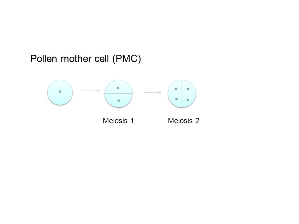 Pollen mother cell (PMC) Meiosis 1Meiosis 2
