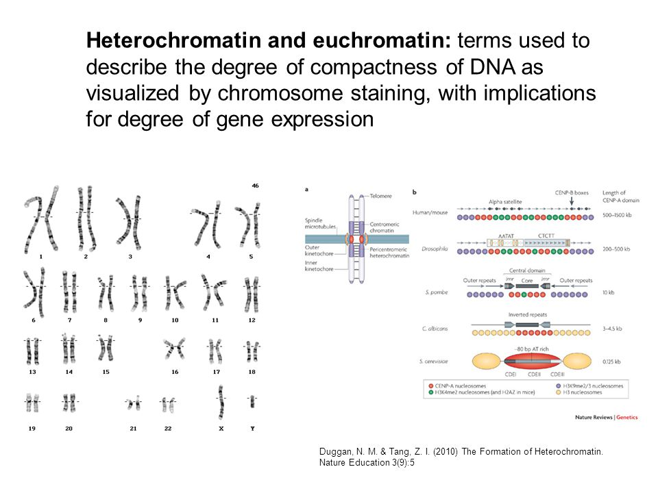 Heterochromatin and euchromatin: terms used to describe the degree of compactness of DNA as visualized by chromosome staining, with implications for degree of gene expression Duggan, N.