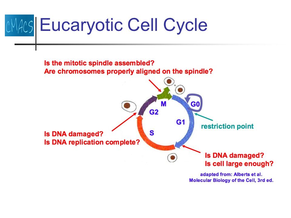 Eucaryotic Cell Cycle