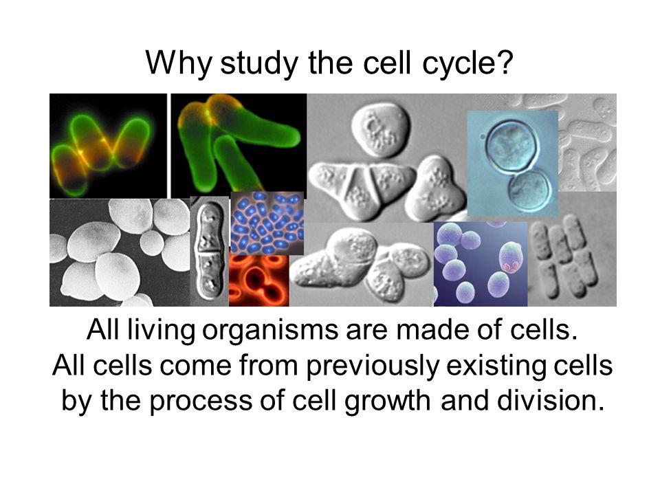 Why study budding yeast?