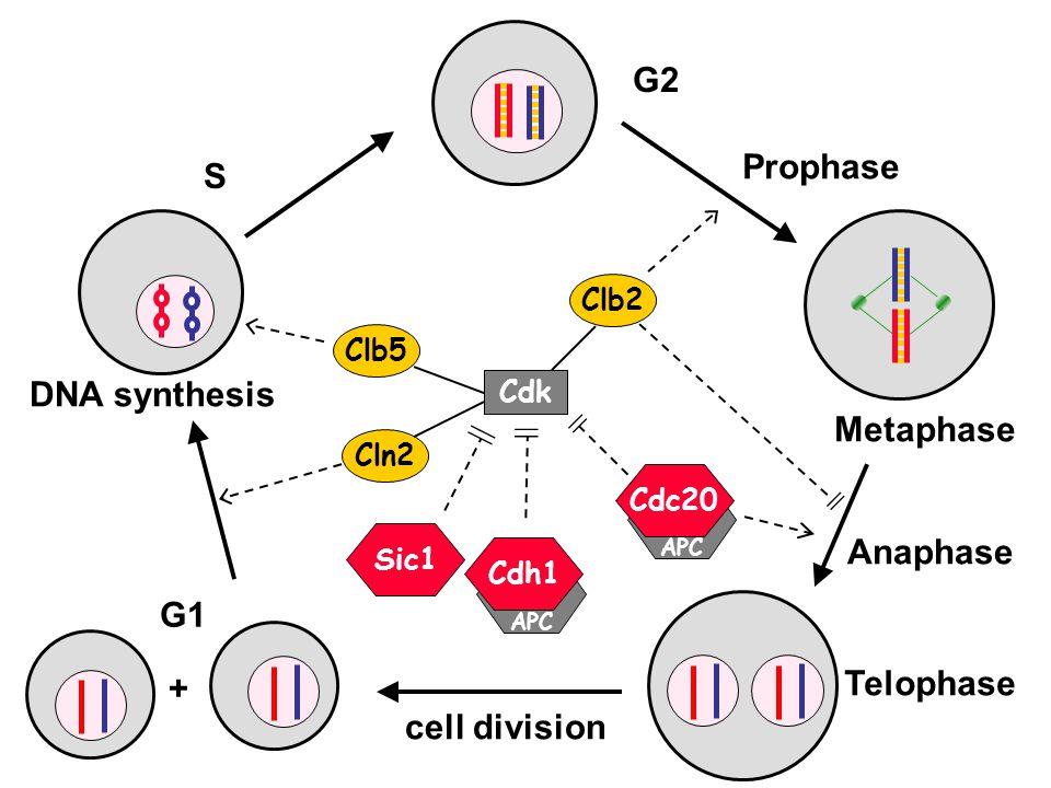 Clb2 Cln2 Cdc14 G1 S G2 M A T DNA Damage Clb2 Cdh1 Cln2 Cdc14 Chromosome Alignment Problems