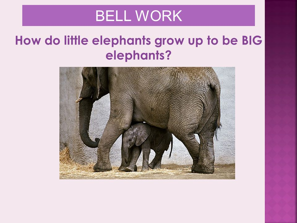 Are the cells of the adult elephant larger than those of the baby? BELL WORK