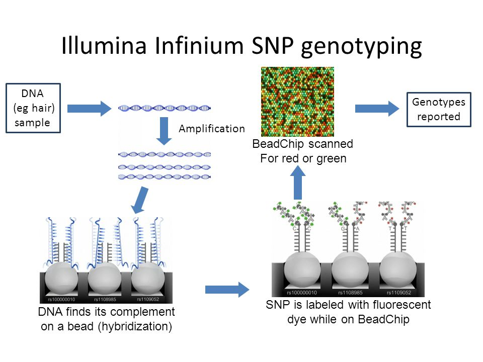 Illumina Infinium SNP genotyping SNP is labeled with fluorescent dye while on BeadChip BeadChip scanned For red or green DNA finds its complement on a