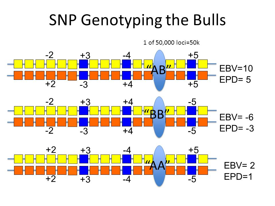 "SNP Genotyping the Bulls +3 -3 -4 +4 +5 -2 +2 +3 -3 +4 -5 -2 +3 -4 +5 -5 +2 EBV=10 EPD= 5 EBV= -6 EPD= -3 EBV= 2 EPD=1 ""AB"" ""BB"" ""AA"" 1 of 50,000 loci"
