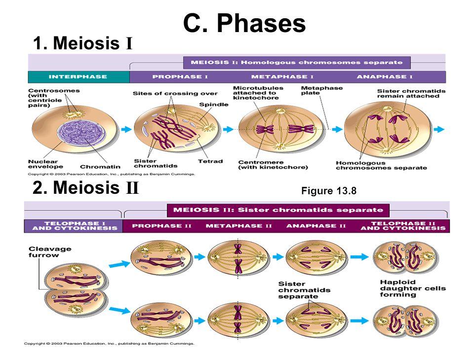 1. Meiosis I C. Phases 2. Meiosis II Figure 13.8