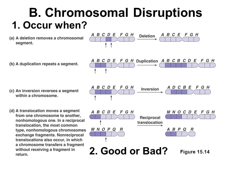 1. Occur when 2. Good or Bad Figure 15.14 B. Chromosomal Disruptions
