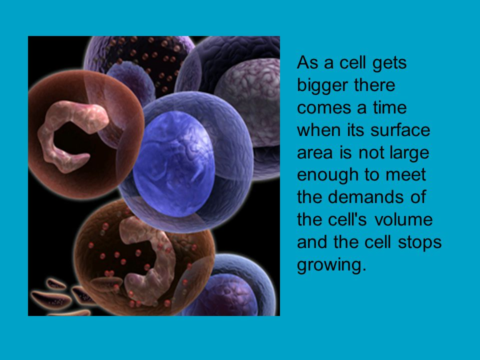 As a cell gets bigger there comes a time when its surface area is not large enough to meet the demands of the cell s volume and the cell stops growing.