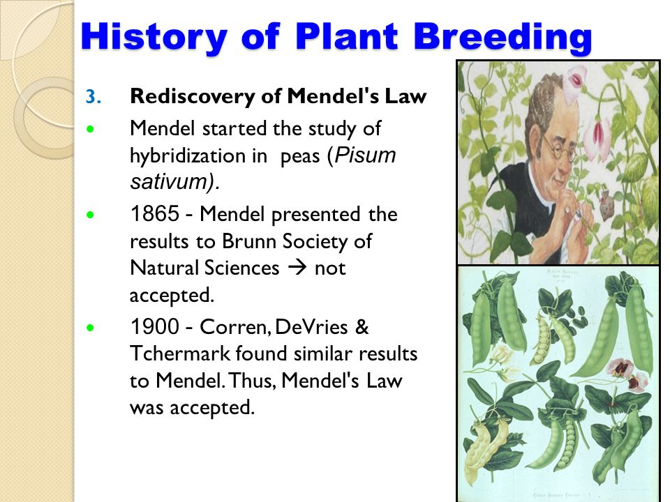 3. Rediscovery of Mendel s Law Mendel started the study of hybridization in peas (Pisum sativum).