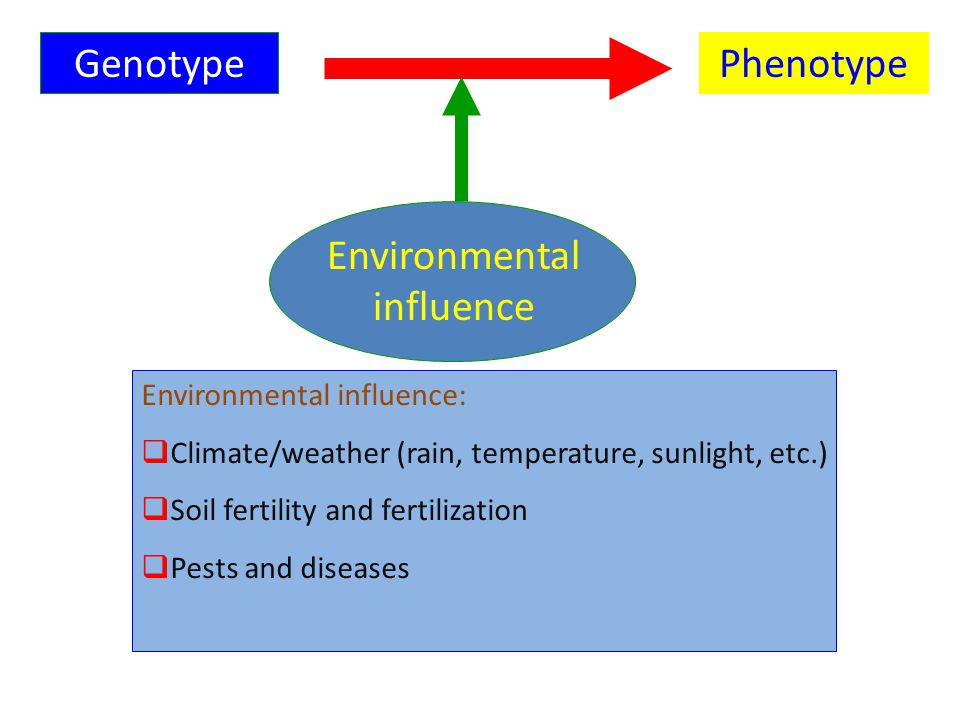 GenotypePhenotype Environmental influence Environmental influence:  Climate/weather (rain, temperature, sunlight, etc.)  Soil fertility and fertilization  Pests and diseases
