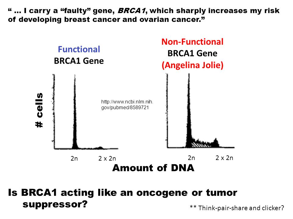 """Non-Functional BRCA1 Gene (Angelina Jolie) 2n 2 x 2n Is BRCA1 acting like an oncogene or tumor suppressor? """" … I carry a """"faulty"""" gene, BRCA1, which s"""