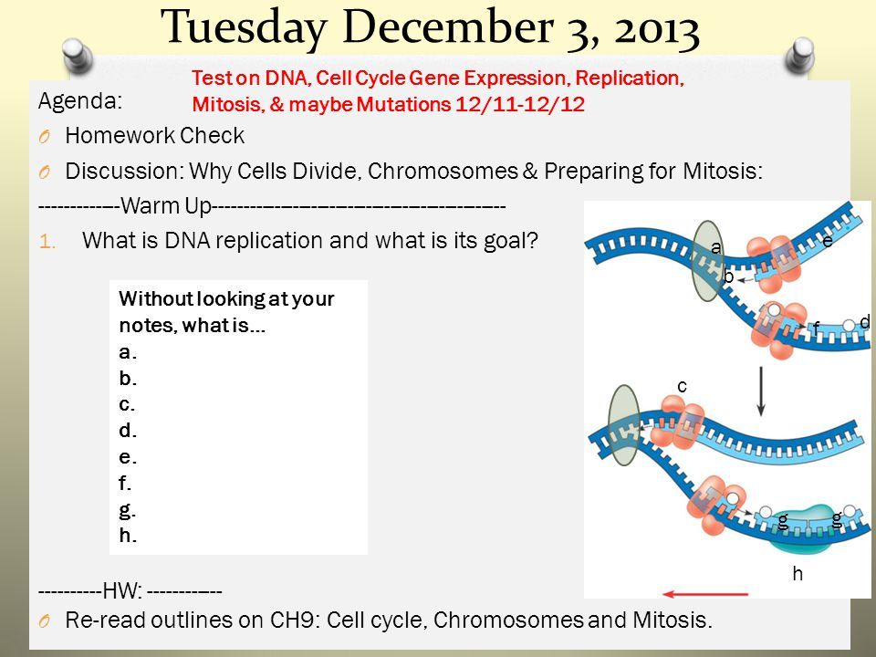 Tuesday December 3, 2013 Agenda: O Homework Check O Discussion: Why Cells Divide, Chromosomes & Preparing for Mitosis: -------------Warm Up------------------------------------------------ 1.