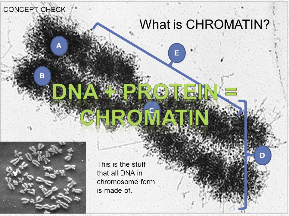A Chromosome Under Electron Microscopy This is the stuff that all DNA in chromosome form is made of. A B C D What is CHROMATIN? E CONCEPT CHECK