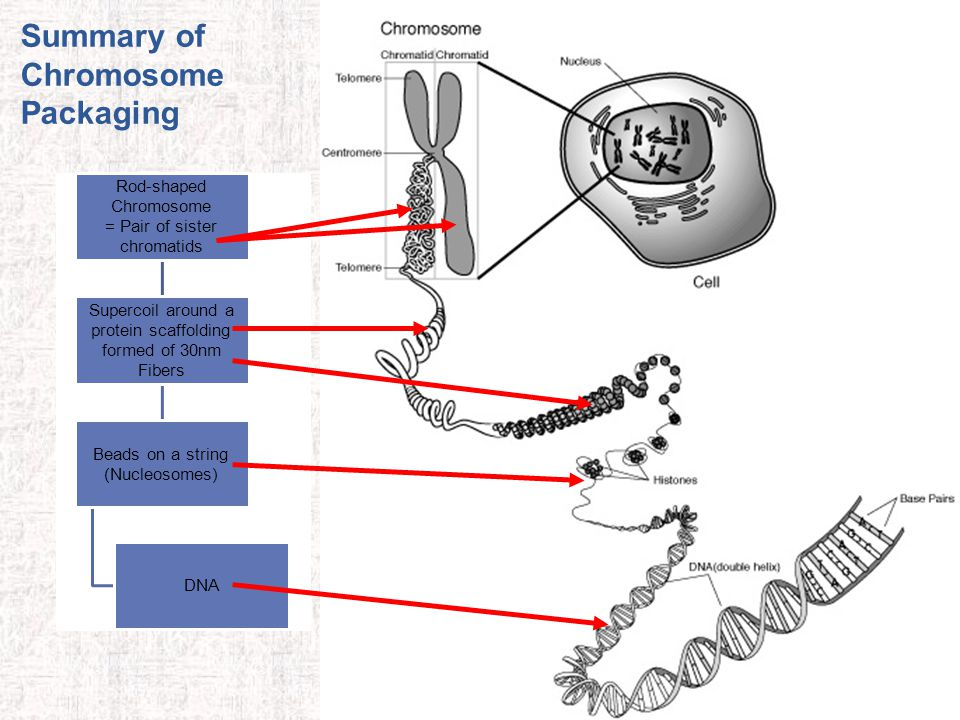 Summary of Chromosome Packaging
