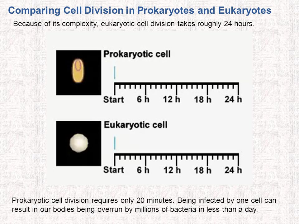 Comparing Cell Division in Prokaryotes and Eukaryotes Because of its complexity, eukaryotic cell division takes roughly 24 hours. Prokaryotic cell div