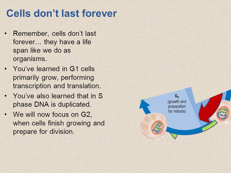 Cells don't last forever Remember, cells don't last forever… they have a life span like we do as organisms.