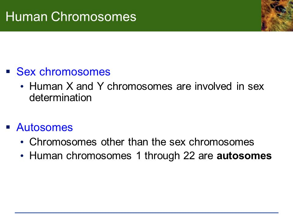 Human Chromosomes  Sex chromosomes Human X and Y chromosomes are involved in sex determination  Autosomes Chromosomes other than the sex chromosomes Human chromosomes 1 through 22 are autosomes