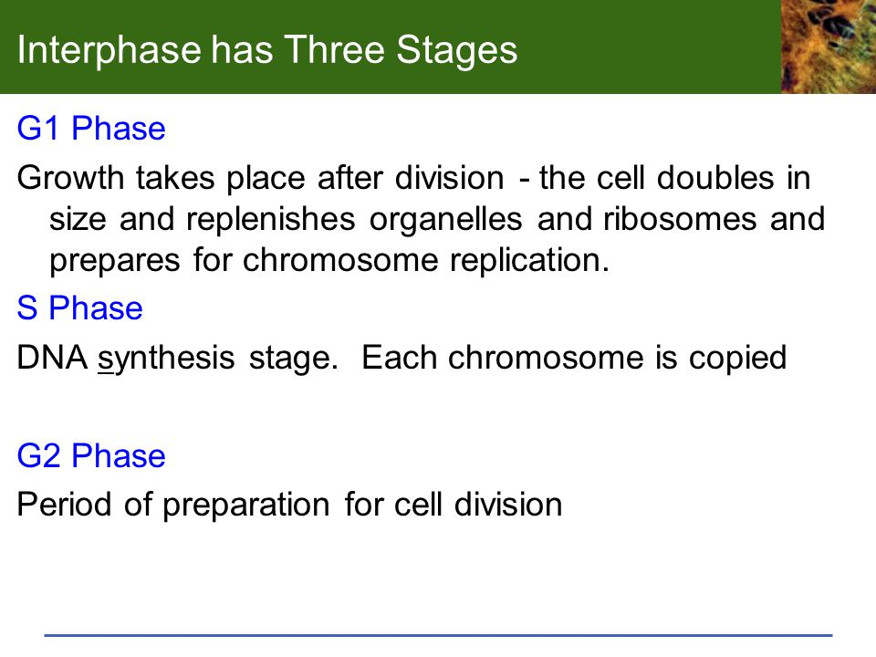 Interphase has Three Stages G1 Phase Growth takes place after division - the cell doubles in size and replenishes organelles and ribosomes and prepares for chromosome replication.