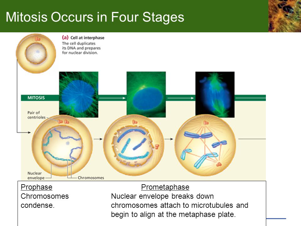 Mitosis Occurs in Four Stages ProphasePrometaphase ChromosomesNuclear envelope breaks down condense.chromosomes attach to microtubules and begin to align at the metaphase plate.