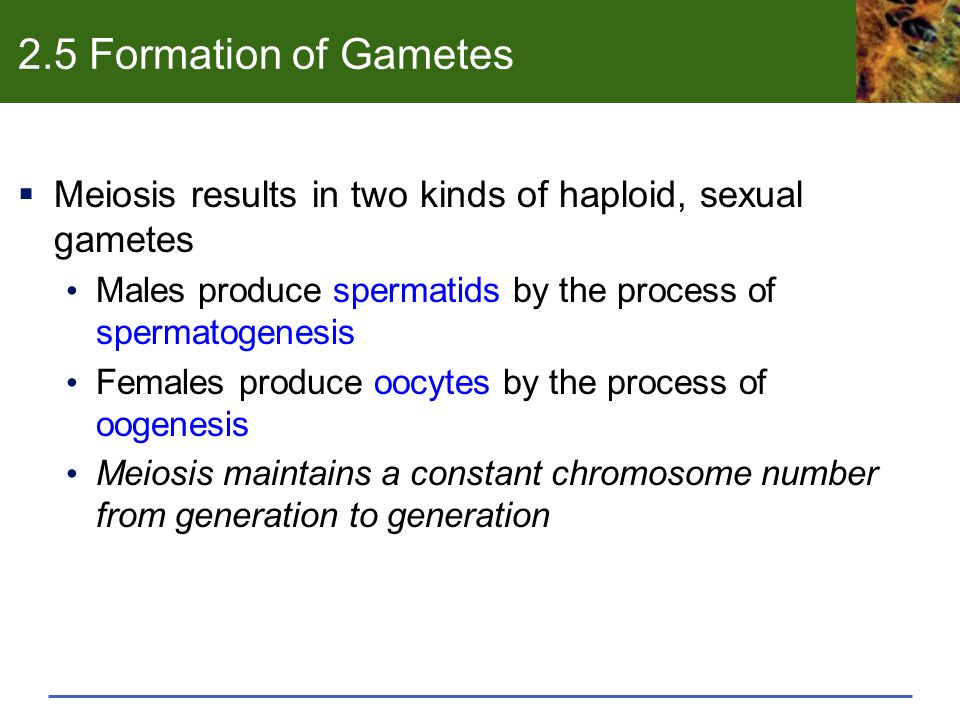 2.5 Formation of Gametes  Meiosis results in two kinds of haploid, sexual gametes Males produce spermatids by the process of spermatogenesis Females produce oocytes by the process of oogenesis Meiosis maintains a constant chromosome number from generation to generation