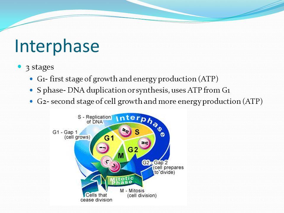 Cytokinesis The splitting apart of the daughter cells.