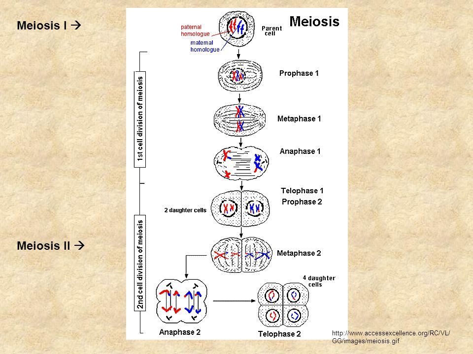 Meiosis I  Meiosis II  http://www.accessexcellence.org/RC/VL/ GG/images/meiosis.gif