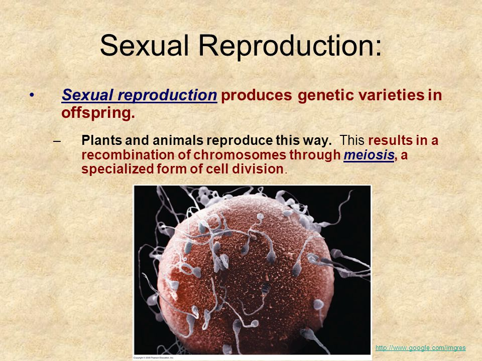 Sexual Reproduction: Sexual reproduction produces genetic varieties in offspring.