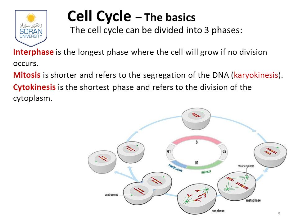 Cell Cycle – The basics The cell cycle can be divided into 3 phases: Interphase is the longest phase where the cell will grow if no division occurs.