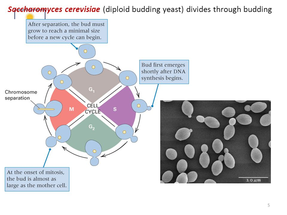 Saccharomyces cerevisiae (diploid budding yeast) divides through budding 5