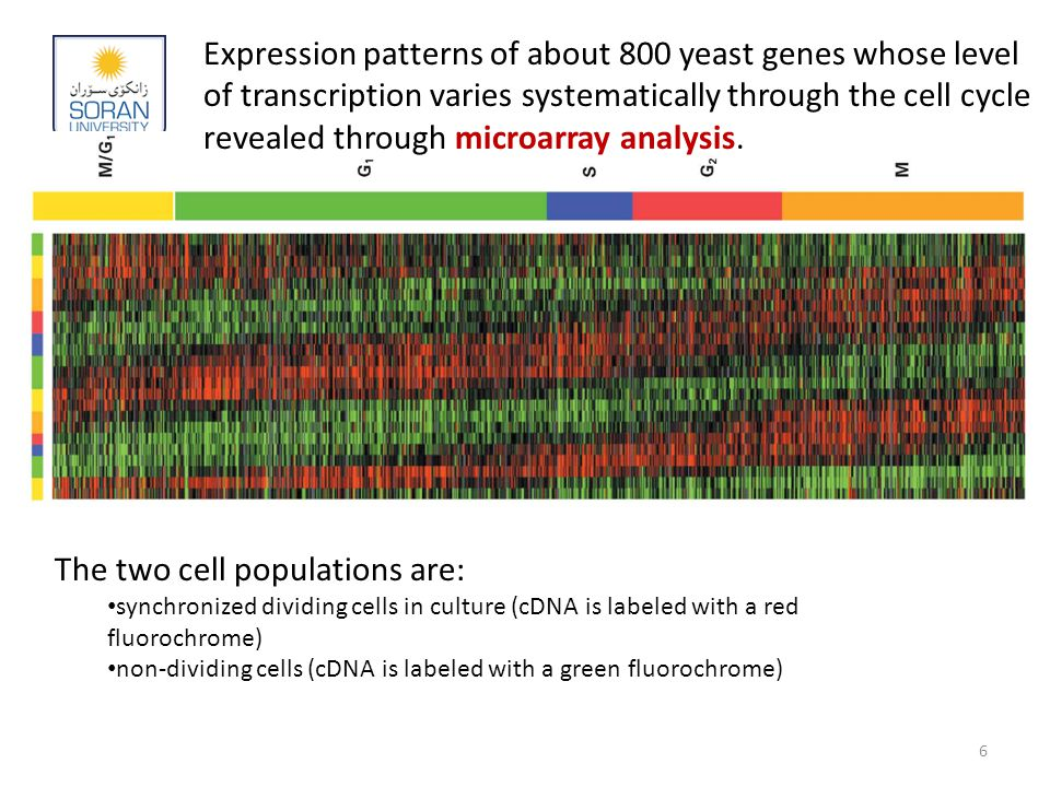 Expression patterns of about 800 yeast genes whose level of transcription varies systematically through the cell cycle revealed through microarray analysis.