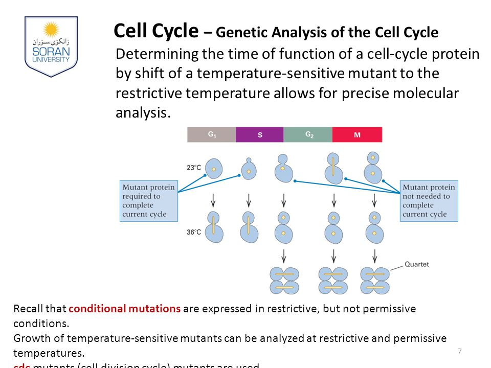 Cell Cycle – Genetic Analysis of the Cell Cycle Determining the time of function of a cell-cycle protein by shift of a temperature-sensitive mutant to the restrictive temperature allows for precise molecular analysis.