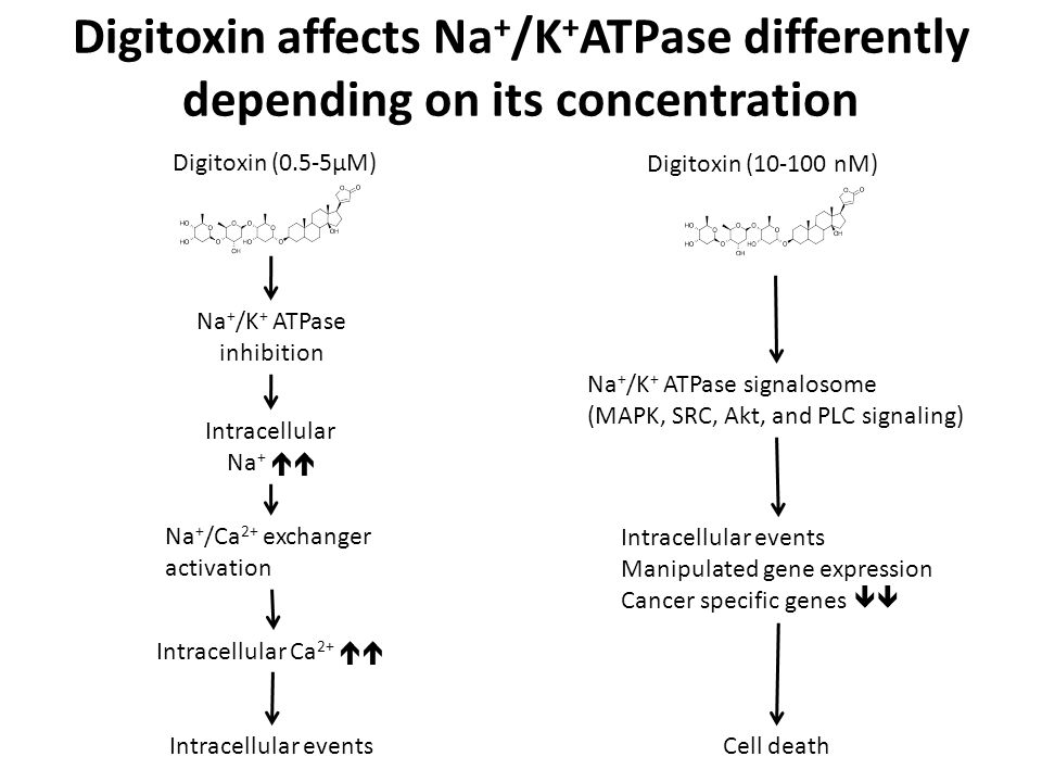 Digitoxin affects Na + /K + ATPase differently depending on its concentration Digitoxin (0.5-5μM) Digitoxin (10-100 nM) Na + /K + ATPase inhibition Intracellular Na +  Na + /Ca 2+ exchanger activation Intracellular Ca 2+  Intracellular events Na + /K + ATPase signalosome (MAPK, SRC, Akt, and PLC signaling) Intracellular events Manipulated gene expression Cancer specific genes  Cell death
