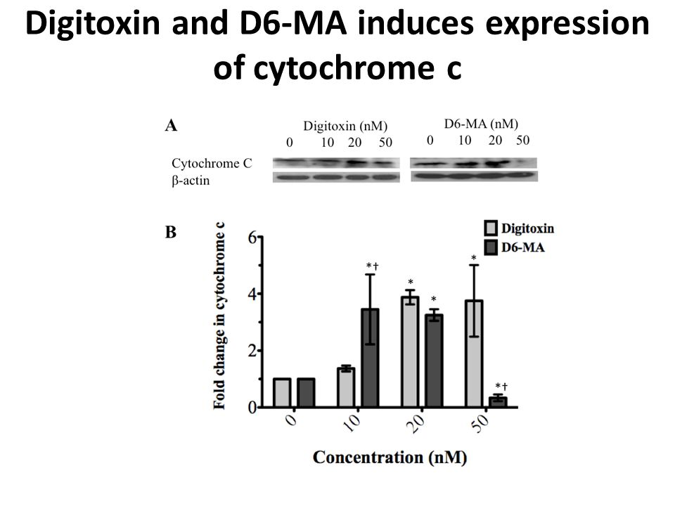 Digitoxin and D6-MA induces expression of cytochrome c