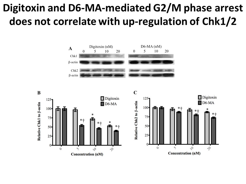 Digitoxin and D6-MA-mediated G2/M phase arrest does not correlate with up-regulation of Chk1/2