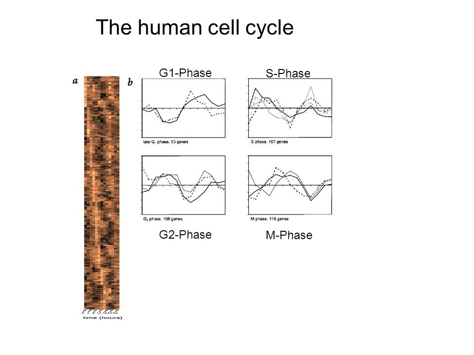 The human cell cycle G1-Phase S-Phase G2-Phase M-Phase