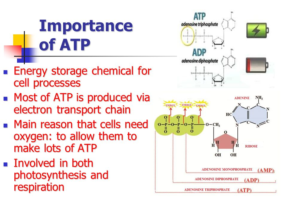 Importance of ATP Energy storage chemical for cell processes Energy storage chemical for cell processes Most of ATP is produced via electron transport