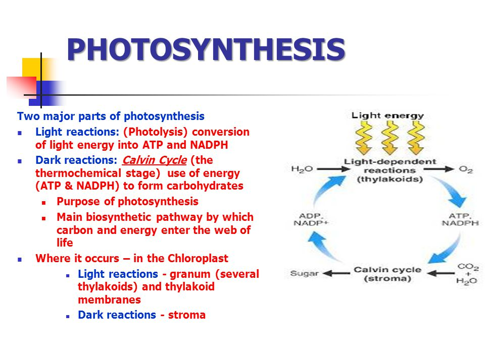 PHOTOSYNTHESIS Two major parts of photosynthesis Light reactions: (Photolysis) conversion of light energy into ATP and NADPH Dark reactions: Calvin Cy