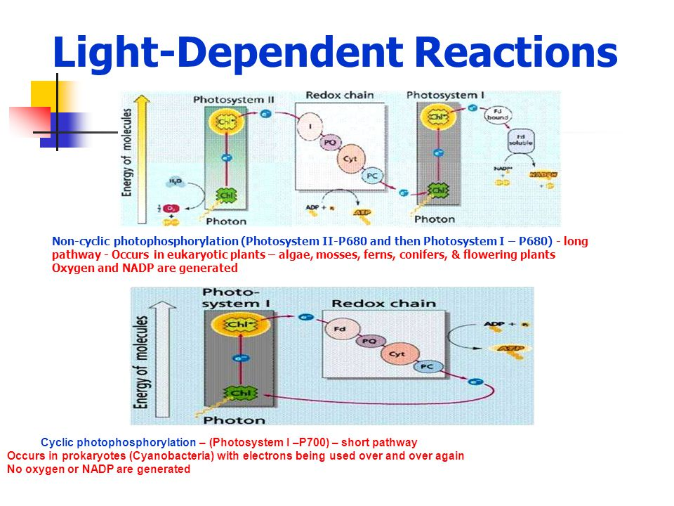Light-Dependent Reactions Non-cyclic photophosphorylation (Photosystem II-P680 and then Photosystem I – P680) - long pathway - Occurs in eukaryotic pl
