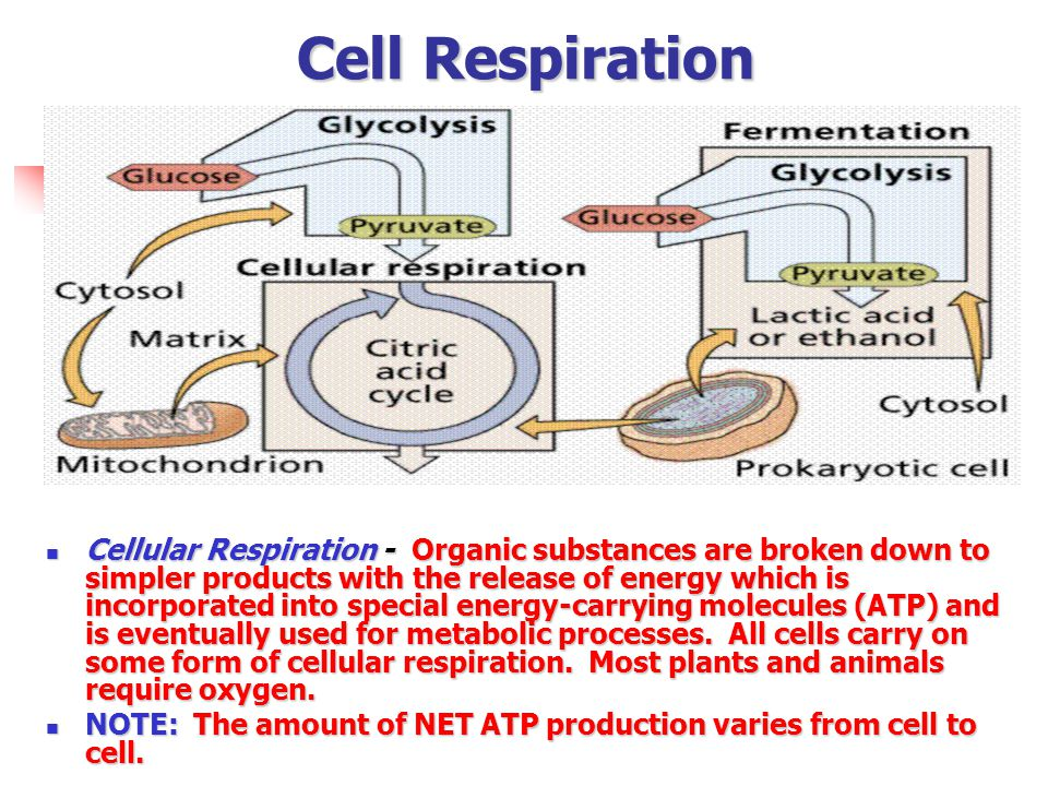 Cell Respiration Cellular Respiration - Organic substances are broken down to simpler products with the release of energy which is incorporated into s