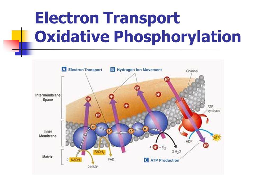 Electron Transport Oxidative Phosphorylation